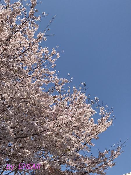 20180331桜