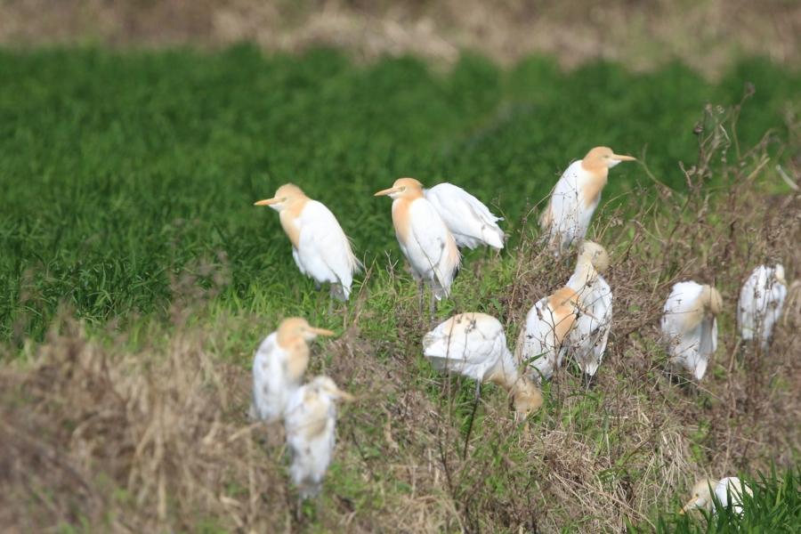 2018-アマサギの群れ1W7A2185