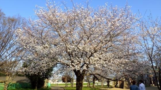 大泉緑地の桜(冒険ランド)