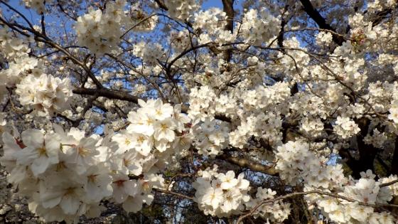 大泉緑地の桜(桜広場 その1)