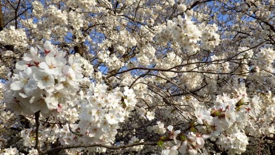 大泉緑地の桜(桜広場 その2)
