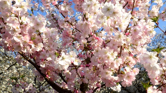 大泉緑地の桜(陽光桜)