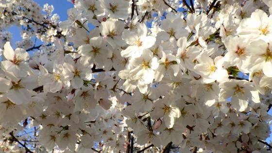 大泉緑地の桜(桜広場 その3)