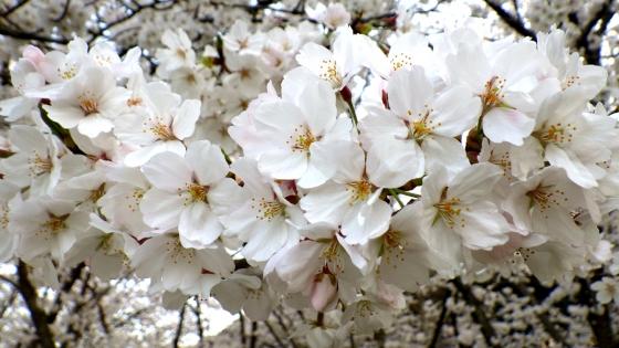 大泉緑地の桜(桜広場 その4)