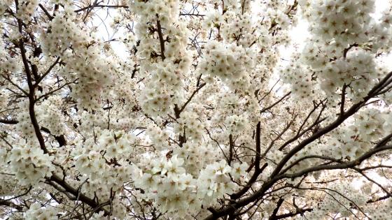 大泉緑地の桜(桜広場 その5)