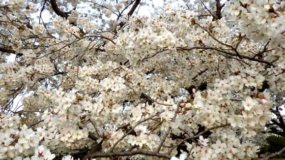 大泉緑地の桜(桜広場 その6)