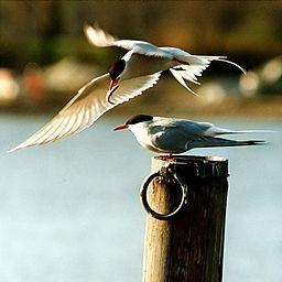 256px-Arctic_terns.jpg