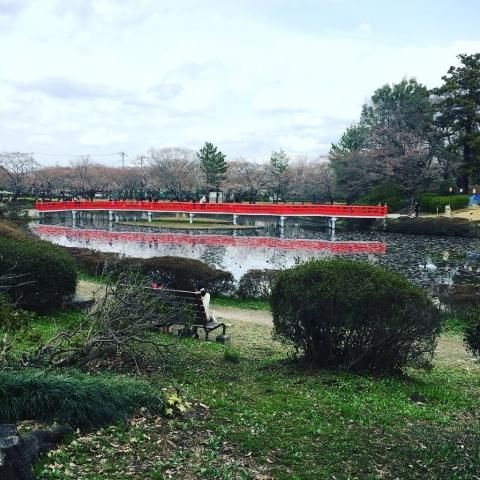 4分咲桜と八橋