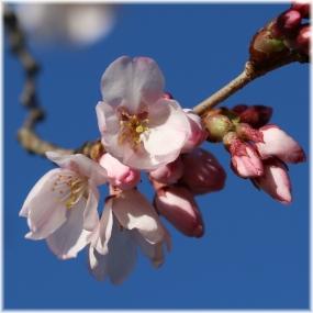 180324E 023桜も開花SQ