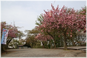 180417E 030茶店八重桜32