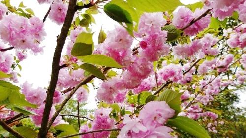 ボタン桜 (1)