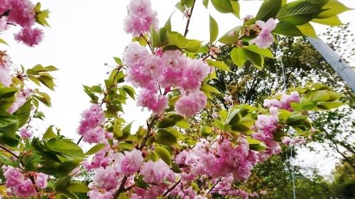 ボタン桜 (2)