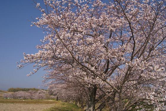 180329千本桜-2