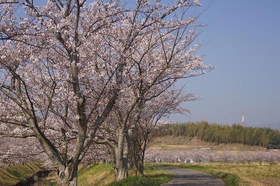 180329千本桜-3