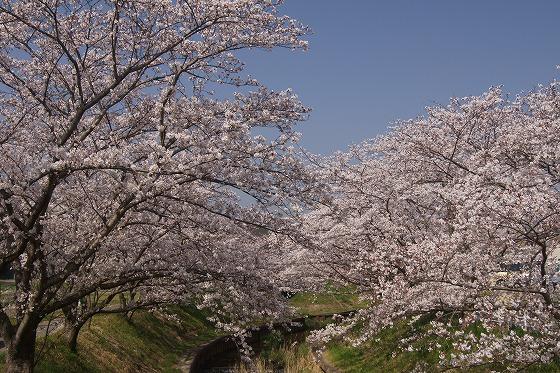 180329千本桜-4