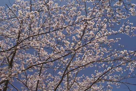 180329千本桜-5