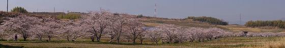 180329千本桜-6