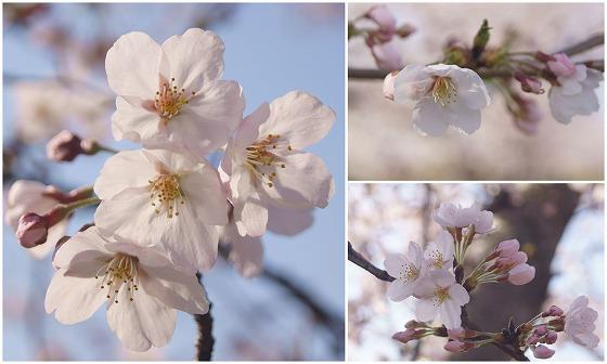 180329千本桜-8
