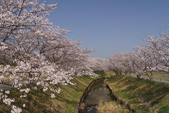 180329千本桜-9