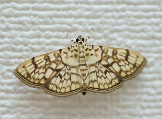 180521名前不明の蛾