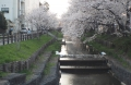 川越桜 (1)