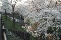 川越桜 (2)