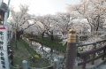 川越桜 (3)