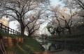 川越桜 (4)