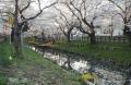 川越桜 (5)