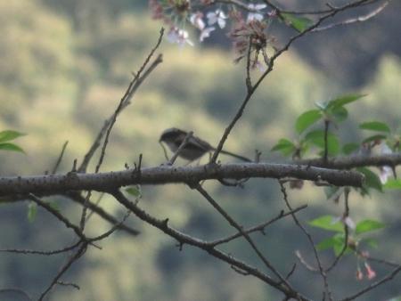 花鳥清水山 2018-04-02 025