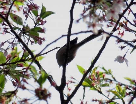 花鳥清水山 2018-04-02 023