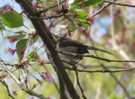 野鳥清水山 2018-04-03 012