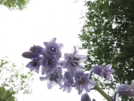 白花オドリコソウ 2018-04-25 027