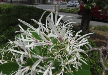 春柳川ナンジャモンジャの花 2018-04-26 029