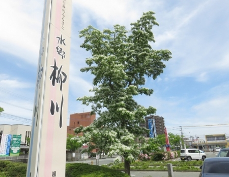 春柳川ナンジャモンジャの花 2018-04-26 017