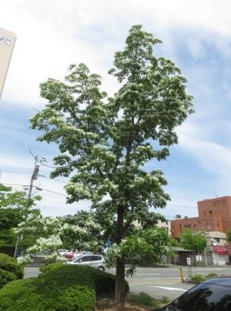 春柳川ナンジャモンジャの花 2018-04-26 013