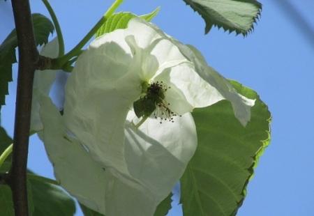 ハンカチの花 1980-01-01 089