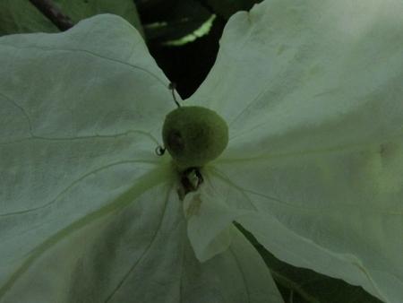 ハンカチの花 1980-01-01 102