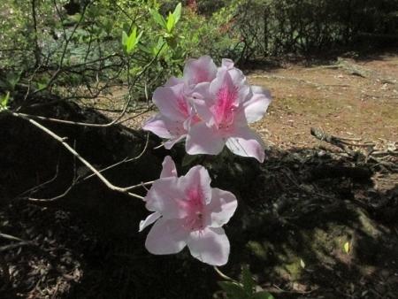 ハンカチの花 1980-01-01 020