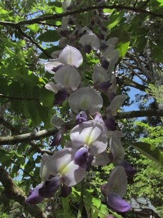 ハンカチの花 1980-01-01 019