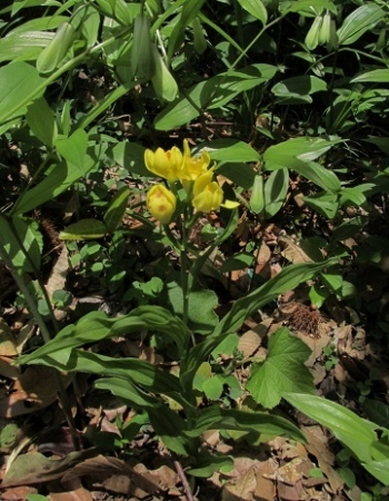 ハンカチの花 1980-01-01 040
