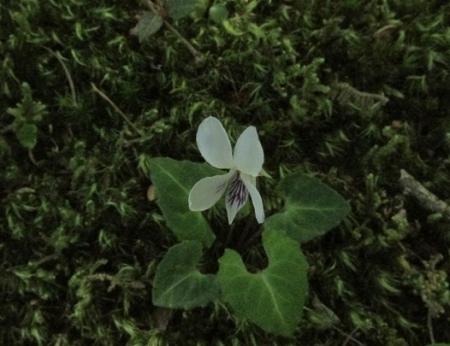 ハンカチの花 1980-01-01 028