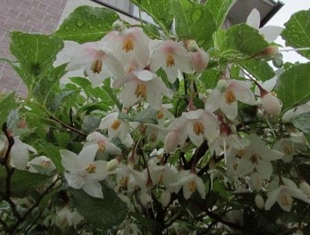 雨とヤマボウシの花 1980-01-01 015