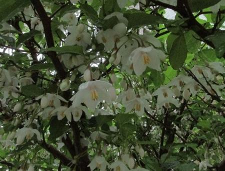 雨とヤマボウシの花 1980-01-01 010