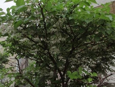 雨とヤマボウシの花 1980-01-01 012