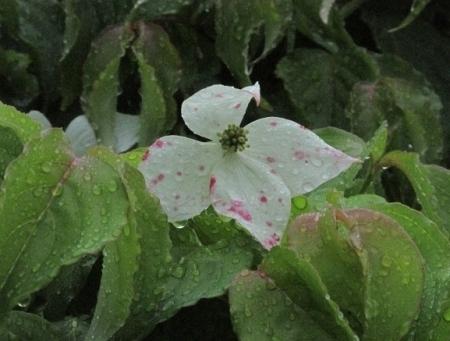 雨とヤマボウシの花 1980-01-01 004
