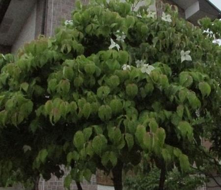 雨とヤマボウシの花 1980-01-01 006