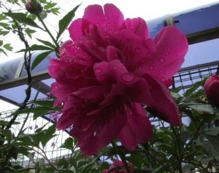 雨とヤマボウシの花 1980-01-01 024