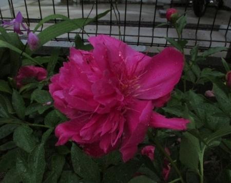 雨とヤマボウシの花 1980-01-01 028
