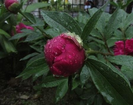 雨とヤマボウシの花 1980-01-01 025
